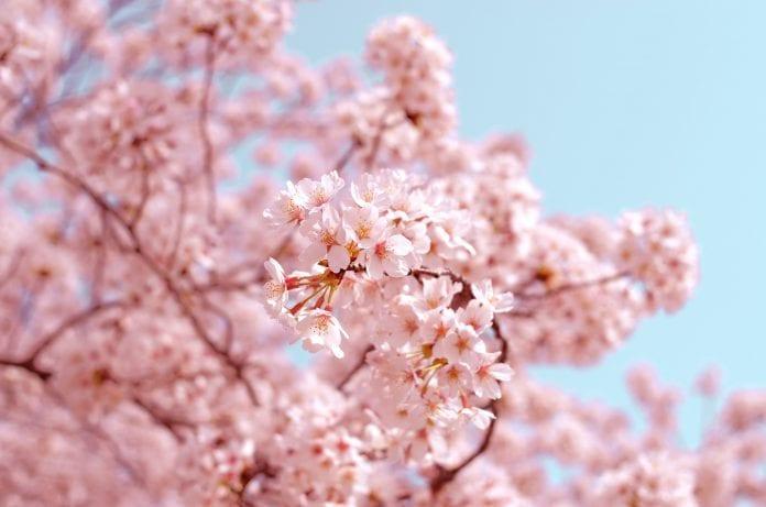 Japonijos sakurų žydėjimo pikas šiemet rekordiškai ankstyvas