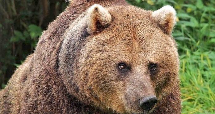 Rumunijos rudasis lokys Arturas