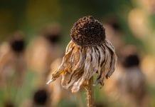 Nudžiūvusi gėlė